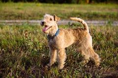 Perro de Terrier que camina en el campo Imagenes de archivo