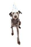 Perro de Terrier que lleva el sombrero del partido de Pawprint Fotos de archivo libres de regalías