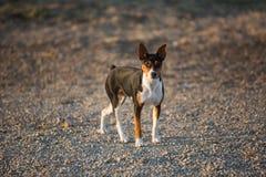 Perro de Terrier de rata en el camino de la grava imágenes de archivo libres de regalías