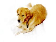 Perro de Thornhill en la nieve 2016 Foto de archivo libre de regalías