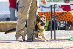 Perro de trabajo del pastor alemán Foto de archivo
