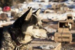 Perro de trineo con los ojos blancos Imágenes de archivo libres de regalías