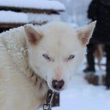Perro de trineo fornido de Alaska Imagen de archivo libre de regalías