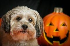 Perro de Víspera de Todos los Santos con la calabaza Imagenes de archivo