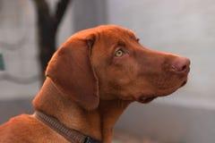 Perro de Vizsla Foto de archivo libre de regalías
