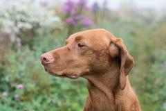 Perro de Vizsla del húngaro en un campo Fotografía de archivo libre de regalías