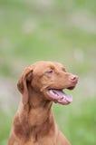 Perro de Vizsla (puntero húngaro) en un campo verde Foto de archivo