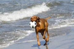 Perro de Vizsla que corre en la playa con la bola Fotografía de archivo