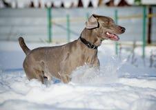 Perro de Weimaraner Foto de archivo