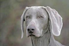 Perro de Weimaraner Foto de archivo libre de regalías