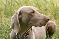 Perro de Weimaraner en la hierba Imagenes de archivo