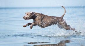 Perro de Weimaraner en la playa Fotos de archivo libres de regalías