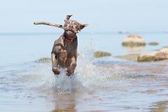 Perro de Weimaraner en la playa Imagenes de archivo