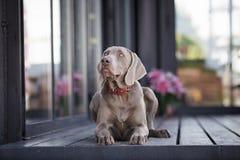 Perro de Weimaraner que se acuesta imagenes de archivo