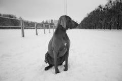 Perro de Weimaraner que sienta en el bosque del invierno la calle del invierno Fotografía de archivo