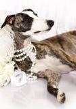 Perro de Whippet Imagenes de archivo