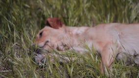 Perro de yarda en la granja almacen de video