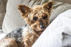 Perro de Yorkshire Foto de archivo