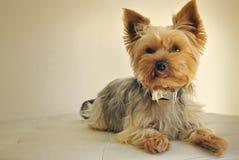 Perro de Yorkshire que pone en un sofá Fotos de archivo