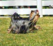 Perro de Yorkshire Terrier Foto de archivo libre de regalías