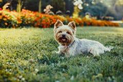 Perro de Yorkshire Terrier en la hierba verde Imágenes de archivo libres de regalías