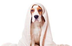 Perro debajo de una manta en blanco imagen de archivo