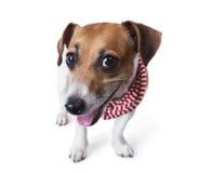 Perro del abrigo Imágenes de archivo libres de regalías