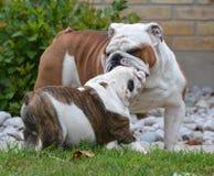 Perro del adulto y de perrito Fotografía de archivo