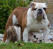 Perro del adulto y de perrito Fotografía de archivo libre de regalías