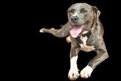 Perro del aislante en fondo negro Fotografía de archivo