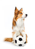 Perro del balompié foto de archivo libre de regalías