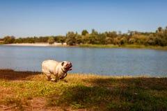 Perro del barro amasado que corre por el río en otoño Perrito feliz que se divierte que juega con el amo imagen de archivo