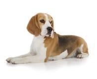 Perro del beagle fotos de archivo