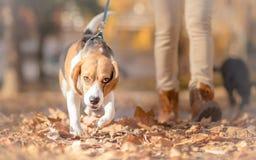 Perro del beagle con la muchacha en paseo Foto de archivo libre de regalías
