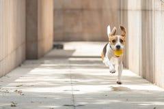 Perro del beagle con la recogida floja del funcionamiento y del salto y sostener de una bola amarilla con el fondo borroso que co imagenes de archivo