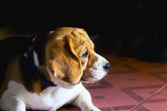 Perro del beagle con los ojos tristes y solo viejos Foco selectivo imagenes de archivo