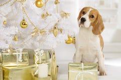 Perro del beagle con los paquetes de un regalo Imagenes de archivo