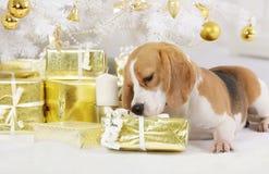 Perro del beagle con un paquete del regalo Fotos de archivo