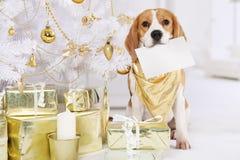 Perro del beagle con una tarjeta de felicitación Imágenes de archivo libres de regalías