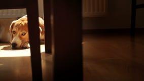 Perro del beagle de la tristeza en el piso laminado metrajes