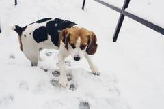 Perro del beagle de Trocolor en las escaleras sitiadas por la nieve que parecen asustadas Fotos de archivo libres de regalías