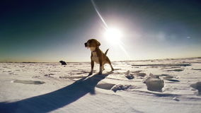 Perro del beagle del descortezamiento en el campo de nieve metrajes
