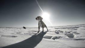 Perro del beagle del grito en el campo de nieve almacen de video