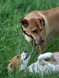 Perro del beagle del sujetador que patroniza Imagenes de archivo