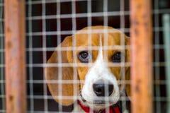 Perro del beagle detrás de la jaula Fotos de archivo libres de regalías