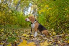 Perro del beagle en bosque del otoño con follaje amarillo brillante Fotografía de archivo