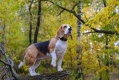 Perro del beagle en bosque del otoño con follaje amarillo brillante Imágenes de archivo libres de regalías