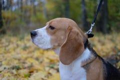Perro del beagle en bosque del otoño con follaje amarillo brillante Fotos de archivo libres de regalías