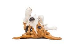 Perro del beagle en el fondo blanco Foto de archivo