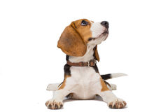 Perro del beagle en el fondo blanco Fotos de archivo libres de regalías